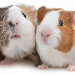 US Court Begins Hearing On Guinea Pig Rape Case Tuesday!